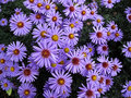 Aster daisy Stock Photos