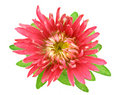 Aster flower Royalty Free Stock Photos