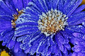 Aster flower close up shot numbed astra morning frost Stock Image