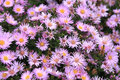 Aster flowers Royalty Free Stock Photography
