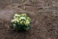 Aster Flowers In Garden Soil