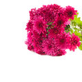 Aster flowers isolated on white background bouquet of Stock Image