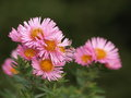 Aster with insect asters flowering plants in autumn Stock Photos