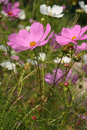 Aster mexicain (bipinnatus de cosmos) Photo libre de droits