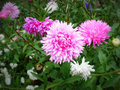 Aster the name comes from the ancient greek word ἀστήρ astér meaning star referring to the shape of the flower head Stock Photography