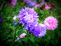 Aster the name comes from the ancient greek word ἀστήρ astér meaning star referring to the shape of the flower head Royalty Free Stock Photos