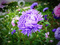 Aster the name comes from the ancient greek word ἀστήρ astér meaning star referring to the shape of the flower head Stock Photos