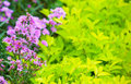 Aster perennial and green plants asters in park Royalty Free Stock Images
