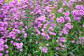Aster perennial a lot of asters in park Stock Photo