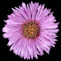 Aster purple isolated by black Royalty Free Stock Photo