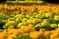 Asteraceae in a botanical garden balchik bulgaria Royalty Free Stock Photos