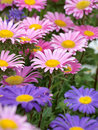Asters abstract with purple and pink aster blooms Stock Photography