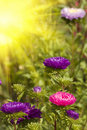 Asters Autumn Flowers