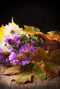 Asters on a black background Stock Photos
