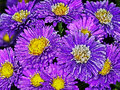 Asters blooming aster flowers in the frosty morning Stock Photo