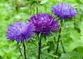 Asters blue and purple on green background Stock Images