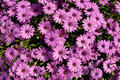 Asters deep pink in full bloom Stock Photography