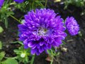 Asters in the garden in the summer on the bed Royalty Free Stock Photo