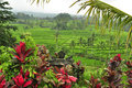 Astonishing landscape of the Rice fields in Bali, Indonesia Royalty Free Stock Photo