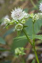 Astrantia flower Stock Image