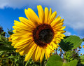Asymmetrical, unusual, mutation, single, sunflower, flower, yellow, brown, head, petals, ray flowers,, inflorescence,center, disk Royalty Free Stock Photo
