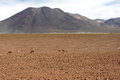 Atacama desert vicuna chile a small herd of searching for food in the high regions of the Stock Photo