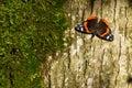 Atalanta do almirante vermelho butterfly da vanessa Fotografia de Stock