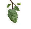 Atemoya Fruit Royalty Free Stock Photo