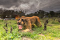 Athens, Greece 17 January 2016. Prehistoric animal sabertooth portrait at the dinosaur park in Greece. Royalty Free Stock Photo