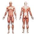 Athletic male human anatomy and muscles Stock Photos