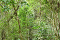 Atlantic forest secondary growth panoramic view of a of the in itaipava petropolis brazil displaying thin tall trees and lots of Royalty Free Stock Image