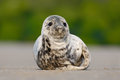 Atlantic Grey Seal, Halichoerus grypus, detail portrait, at the beach of Helgoland, Germany Royalty Free Stock Photo