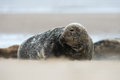 Atlantic Grey Seal (halichoerus grypus) Royalty Free Stock Photo