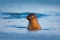 Atlantic Grey Seal, Halichoerus grypus, portrait in the dark blue water wit morning sun, animal swimming in the ocean waves, Helgo Royalty Free Stock Photo
