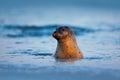 Atlantic Grey Seal, Halichoeru...