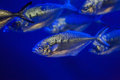 Atlantic horse mackerel (Trachurus trachurus) Royalty Free Stock Photo