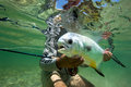 Atlantic permit fly fishing atantic on the underwater Royalty Free Stock Photo