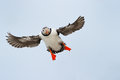 Atlantic Puffin Royalty Free Stock Photo