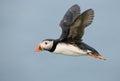 Atlantic Puffin in flight Royalty Free Stock Photo