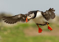 Atlantic puffin (Fratercula arctica) Royalty Free Stock Photo