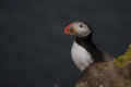 Atlantic puffin fratercula arctica in latrabjarg cliffs iceland on a rock westfjord Stock Image