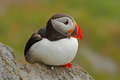Atlantic Puffin, Fratercula artica, artic bird sitting on the rock, nature habitat, Runde island, Norway Royalty Free Stock Photo