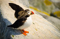 An atlantic puffin getting ready to fly a young Royalty Free Stock Photos