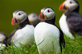 Atlantic puffin in grass iceland a high resolution image of a Stock Photo