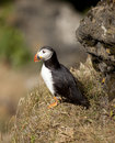 Atlantic puffin, Iceland Royalty Free Stock Photo