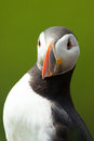 Atlantic puffin in iceland a high resolution image of a grass Stock Photos