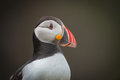 Atlantic Puffin Portrait. Royalty Free Stock Photography