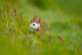Atlantic puffin portrait of an in grass with shallow depth of field Stock Photo