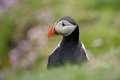 Atlantic puffin portrait in green grass Stock Photography