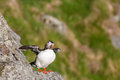 Atlantic puffin on a rock with spread wings Stock Images